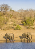 African bush elephant in the riverbank,  in Kruger Park, South Africa Stock Images