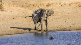 African bush elephant in the riverbank,  in Kruger Park, South Africa. Young african bush elephant in the riverbank, in Kruger National Park, South Africa Stock Photography
