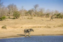 African bush elephant in the riverbank,  in Kruger Park, South Africa Stock Image