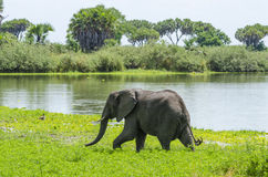African bush elephant Selous Tanzania. African bush elephant, Loxodonta africana, Selous Game Reserve, Tanzania, Africa. The Selous was designated a UNESCO World Royalty Free Stock Photo