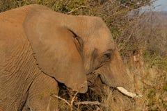 African bush elephant Stock Photography