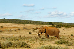 African Bush Elephant Standing in a large field. Stock Photography