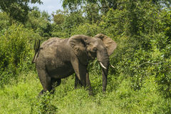 African bush elephant standing in savannah Royalty Free Stock Photography