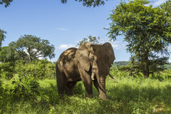 African bush elephant standing in savannah Stock Images
