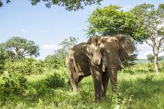 African bush elephant standing in savannah Royalty Free Stock Images