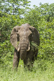 African bush elephant standing in savannah Royalty Free Stock Photo