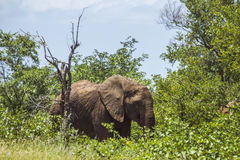 African bush elephant standing in savannah Stock Photo