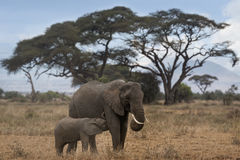 African Bush Elephant with suckling calf Stock Image