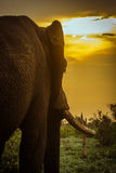African bush elephant and sunset in Kruger park Stock Photos