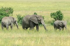 An African Bush Elephant with two generations feeding in the savannah. Two young African Bush Elephants feeding in the Serengeti National Park. The African bush Royalty Free Stock Image