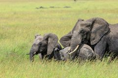 An African Bush Elephant with two generations protecting the little calf. Two young African Bush Elephants feeding in the Serengeti National Park. The African Stock Image