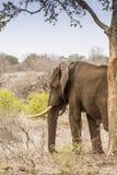 African bush elephant under a tree  in savannah Stock Image
