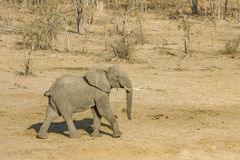 African bush elephant walking in savannah,  in Kruger Park, South Africa Royalty Free Stock Images