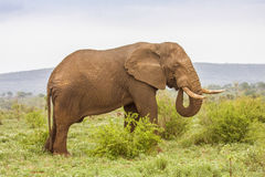 African bush elephant walking in savannah, wide angle Stock Photography
