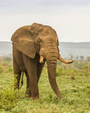 African bush elephant walking in savannah, wide angle Royalty Free Stock Photo