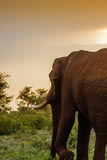 African bush elephant walking in savannah, wide angle Royalty Free Stock Photography