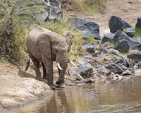 African Bush Elephant on watering point Stock Photography