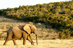 African Bush Elephant on the way to the water. African Elephant on the way to the water with green hill and bush Royalty Free Stock Image