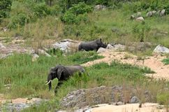 African bush elephant & White rhinoceros Royalty Free Stock Photography