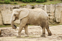 African bush elephant in zoo. In a zoo Stock Photos