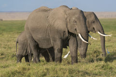 African Bush Elephants Stock Image