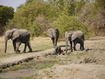 African bush elephants. With calf (Loxodonta africana) in Zambia Stock Images