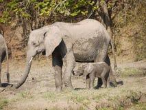 African bush elephants. With calf (Loxodonta africana) in Zambia Royalty Free Stock Photos