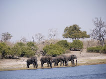 African bush elephants crossing Chobe river Stock Photo