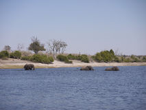 African bush elephants crossing Chobe river Royalty Free Stock Photos