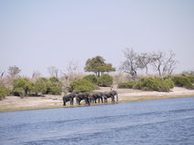 African bush elephants crossing Chobe river. African bush elephants (Loxodonta africana) in Botswana Stock Images
