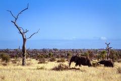 African bush elephants in Kruger National park Royalty Free Stock Image
