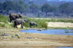 African bush elephants (Loxodonta africana) Royalty Free Stock Photo