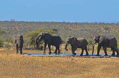 African bush elephants (Loxodonta africana) Royalty Free Stock Photos