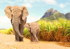 African Bush Elephants - Loxodonta africana family. African Bush Elephants - Loxodonta africana family walking on the road in wildlife reserve. Greeting from stock photo