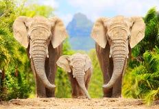 African Bush Elephants - Loxodonta africana family. royalty free stock photography