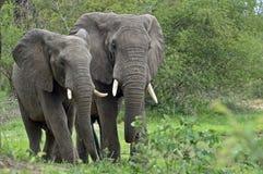 African bush elephants (Loxodonta africana) Royalty Free Stock Images