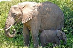 African bush elephants (Loxodonta africana) Stock Images