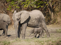 African bush elephants. (Loxodonta africana) with new born calf in Zambia Royalty Free Stock Photo