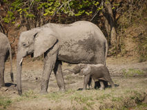 African bush elephants. (Loxodonta africana) with new born calf in Zambia Stock Photos