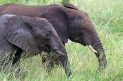 African bush elephants (Loxodonta africana) Royalty Free Stock Photos