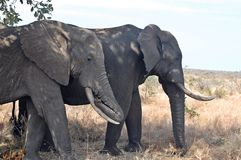 African bush elephants (Loxodonta africana) Stock Photo