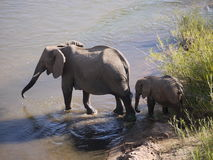 African bush elephants. (Loxodonta africana) in South Africa Royalty Free Stock Images
