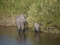 African bush elephants. (Loxodonta africana) in South Africa Stock Image