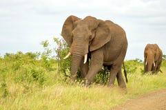 African bush elephants (Loxodonta africana) Stock Image