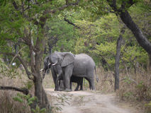 African bush elephants. (Loxodonta africana) in Zambia Stock Photography