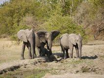 African bush elephants. (Loxodonta africana) in Zambia with a newborn calf Stock Image