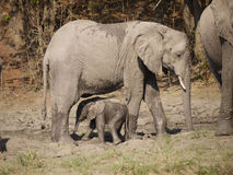 African bush elephants. (Loxodonta africana) in Zambia with a newborn calf Stock Photos