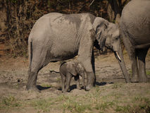 African bush elephants. (Loxodonta africana) in Zambia with a newborn calf Royalty Free Stock Photography