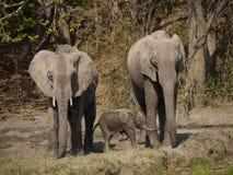 African bush elephants. (Loxodonta africana) in Zambia with a newborn calf Royalty Free Stock Photo