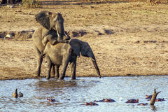 African bush elephants mating in Kruger National park Stock Images